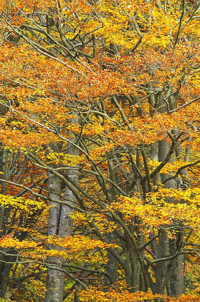 Beech, Fagus sylvatica, autumn foliage, Edzell, Angus, Scotland