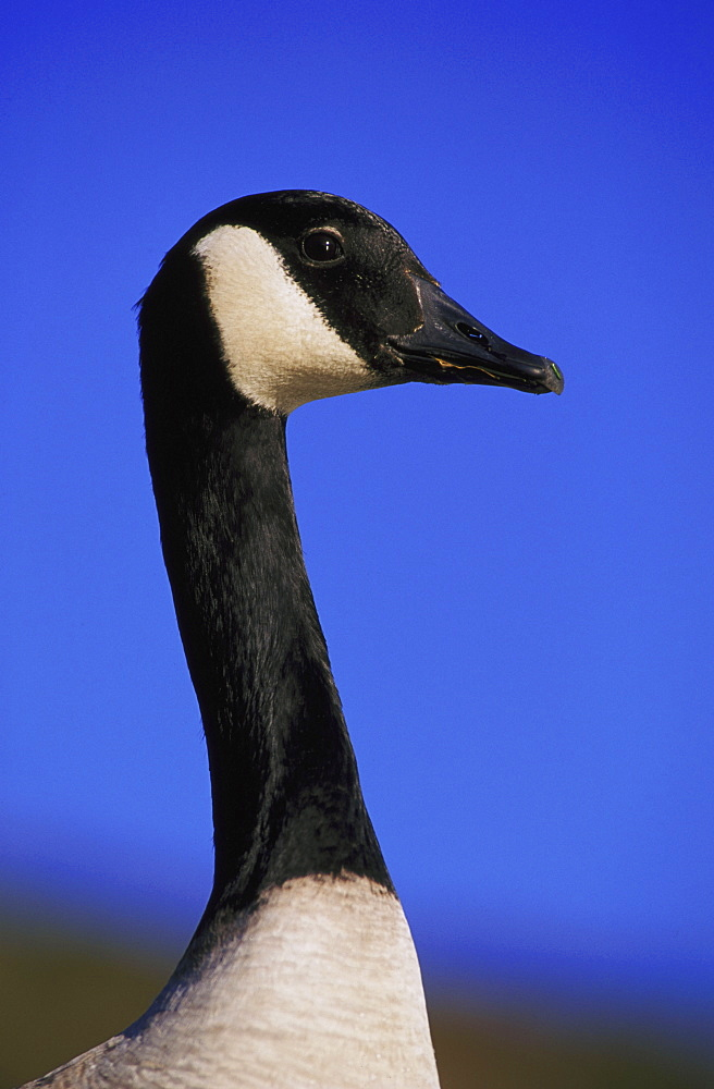 canada goose - 987-211