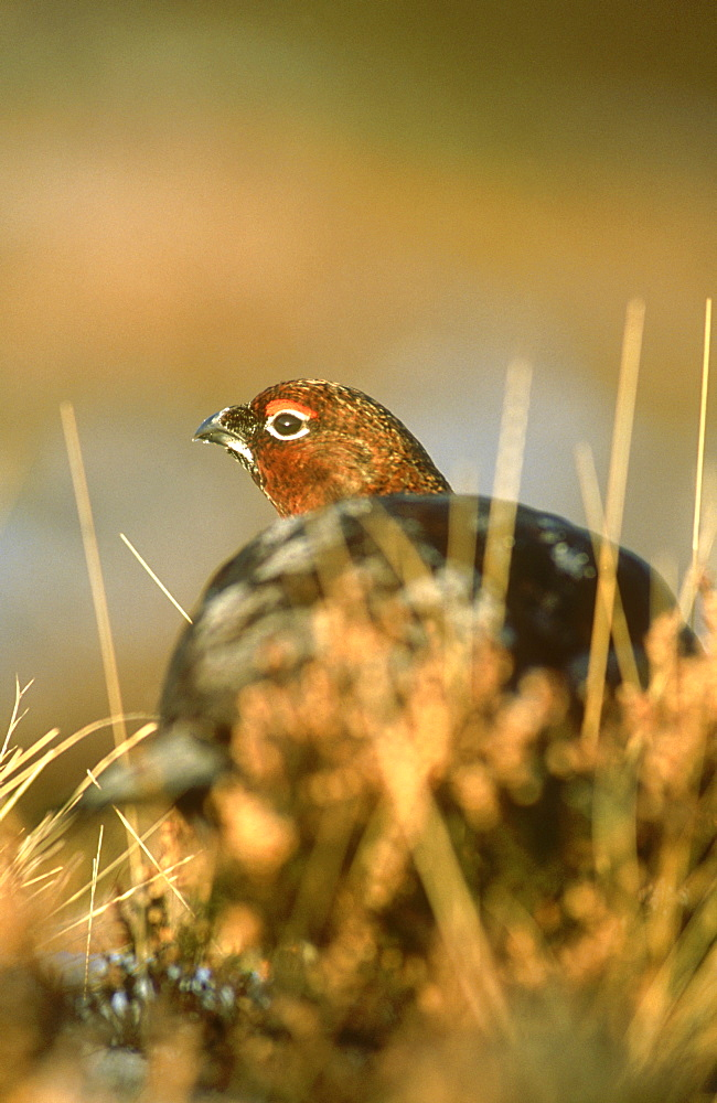 red grouse, lagopus lagopus scoticus, male amongst heather, angus, scot