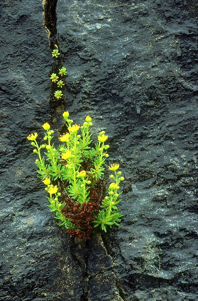 yellow mountain saxifrage, saxifraga aizoides, on lewisian gneiss, scotland - 987-244