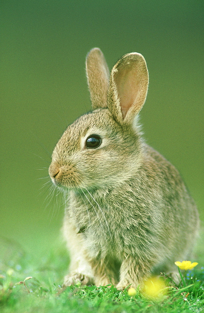 rabbit: oryctolagus cuniculus juvenile scotland - 987-26