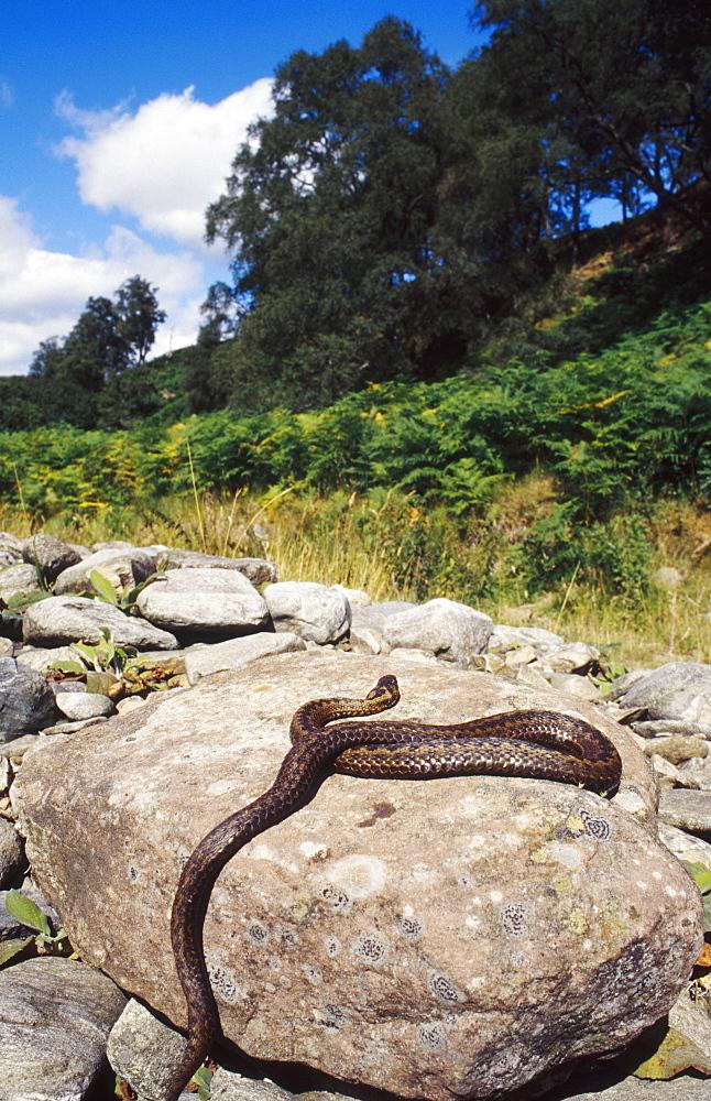 Adder, Vipera berus, sunning on rock, Scotland, UK - 987-273