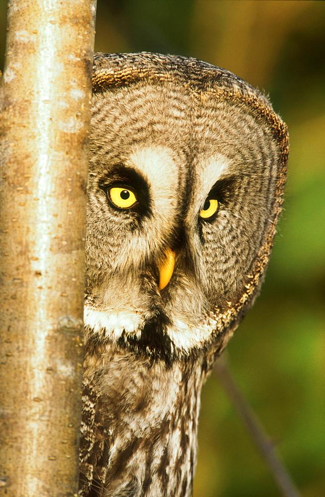 Great Grey owl, Strix nebulosa, female portrait, Angus, Scotland - 987-310