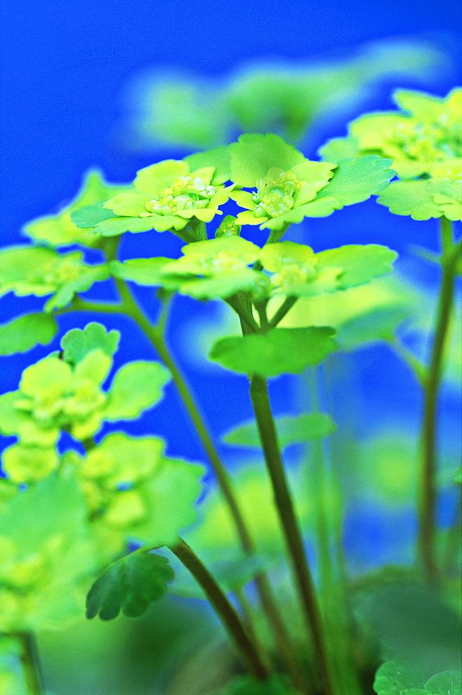 Leaved golden saxifrage, Chrysosplenium alternifolium, Alam Pedja NR, Estonia - 987-313