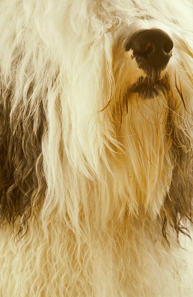 Old English Sheepdog, Canis familiaris, Tartumaa, Estonia - 987-321