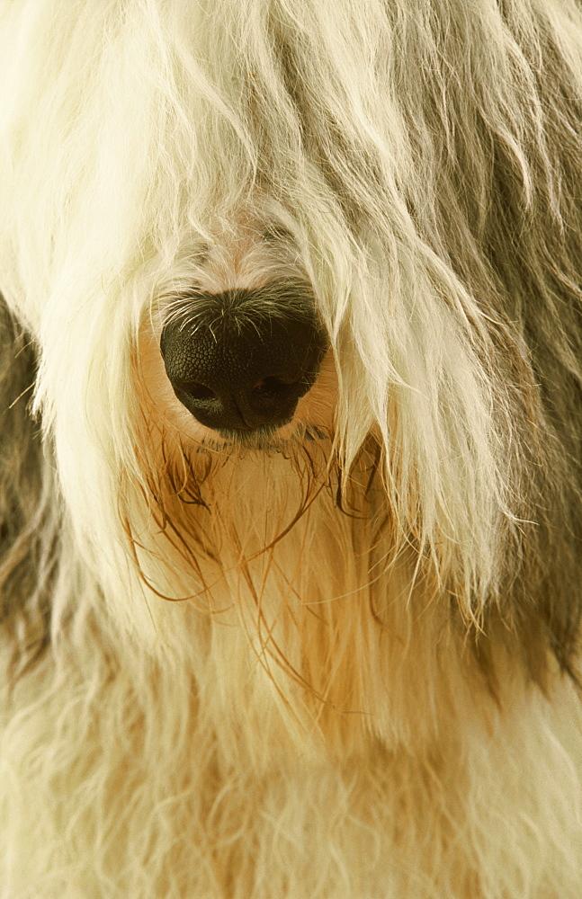 Old English Sheepdog, Canis familiaris, Tartumaa, Estonia - 987-322