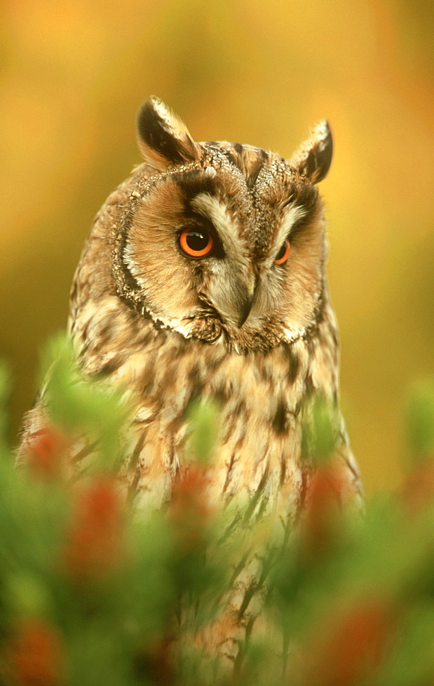 long-eared owl: asio otus, male at roost in scots pine, lothian, scotland   (c)