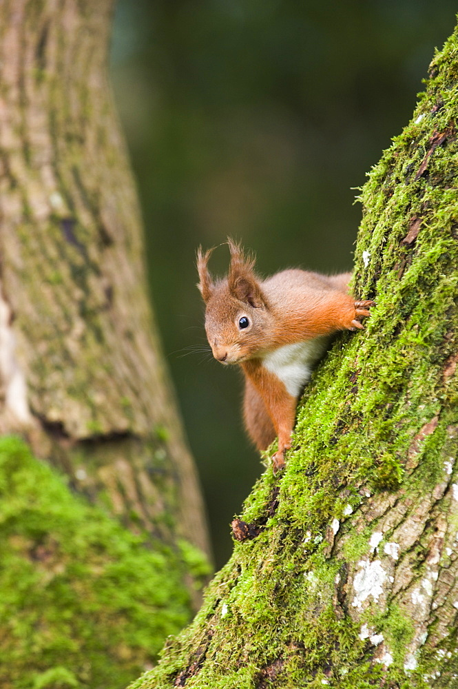 Red squirrel (Sciurus vulgaris) on moss-covered tree trunk, Angus, Scotland - 987-371