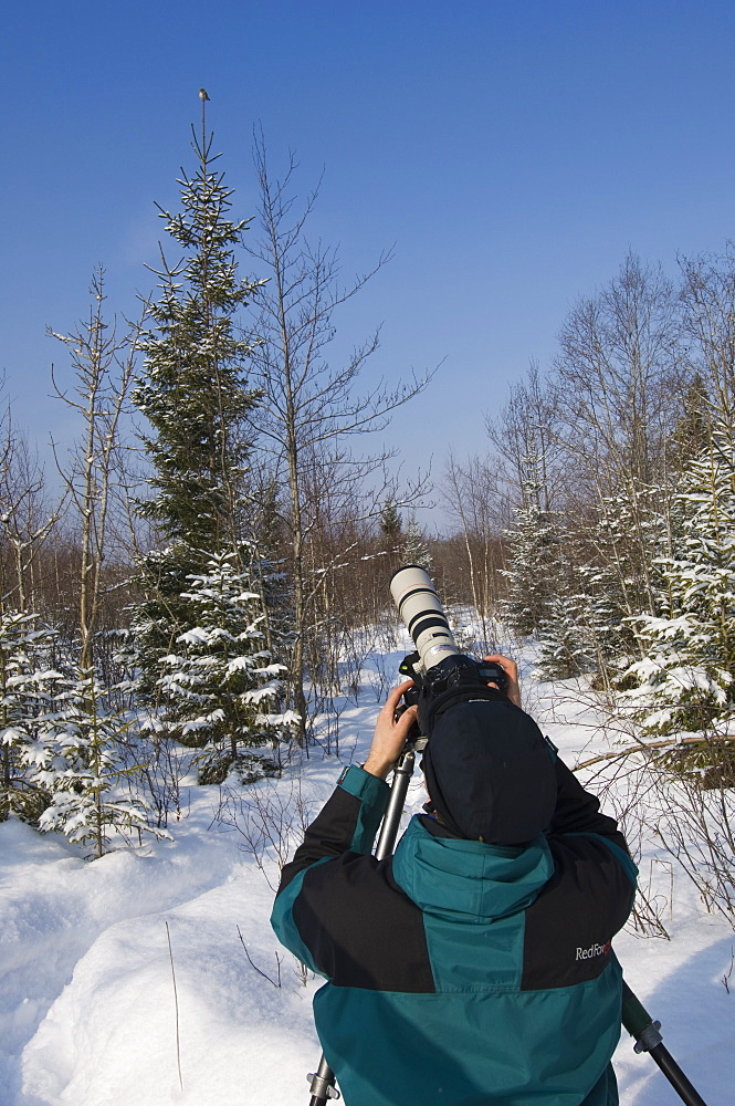 Man photographing a pygmy owl perched on a Norway spruce, Tartumaa, Estonia - 987-382