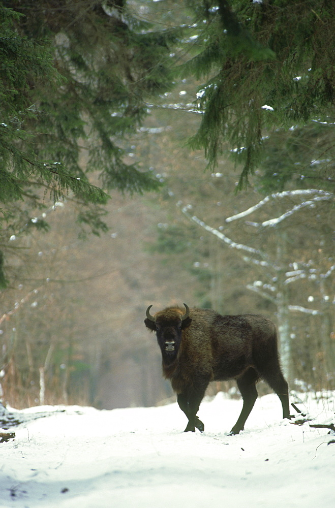 european bison: bison bonasus crossing forest clearing bia lowieza n.p., poland