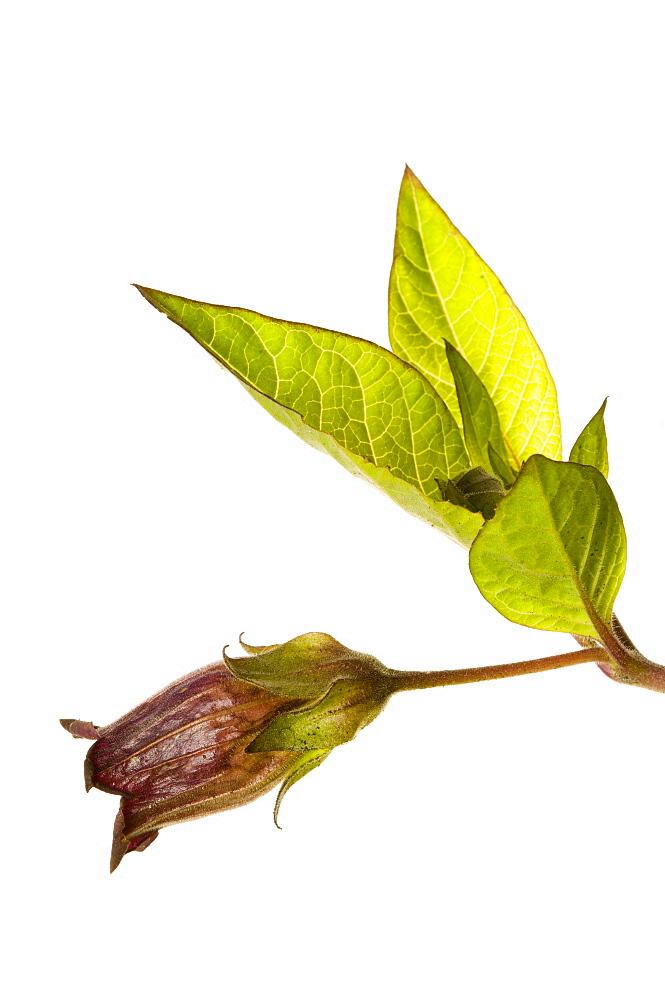 Deadly nightshade (Atropa belladonna) in flower, close up - 987-434