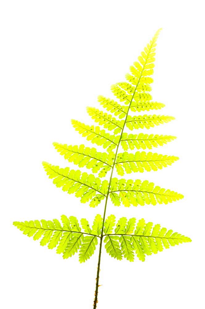 Broad buckler fern (Dryopteris), close up - 987-444