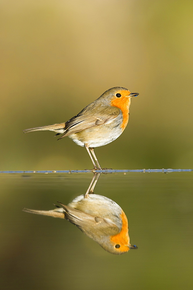 Robin (Erithacus rubecula) reflected in a pond, Alicante, Spain - 987-494