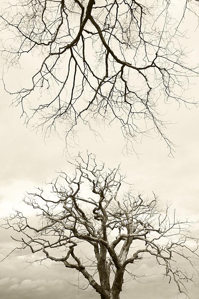 Wych elms (Ulmus glabra) killed by Dutch elm disease summer 2007, Scotland, UK