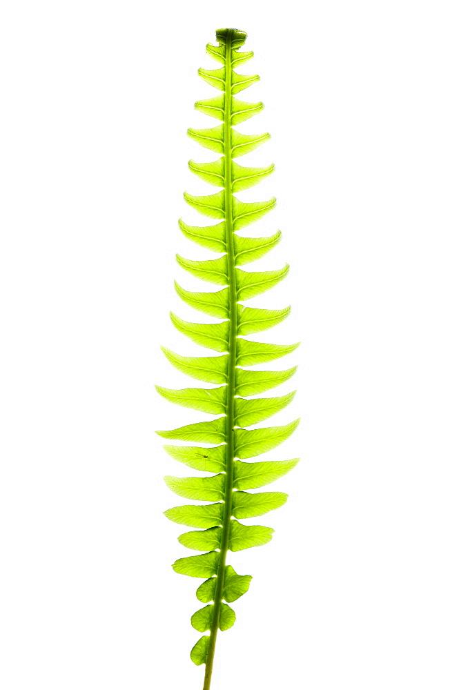 Hard fern - 987-544