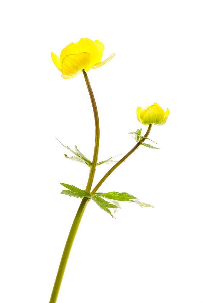 Globeflower - 987-571