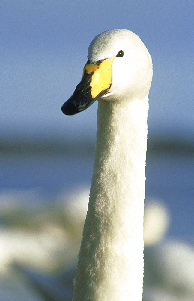 whooper swan: cygnus cygnus montrose basin, angus scotland . wild bird