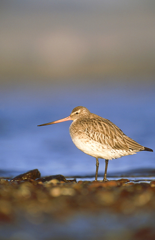 bar-tailed godwit: limosa lapponica, in winter plumage, montrose basin, angus, scotland - 987-95