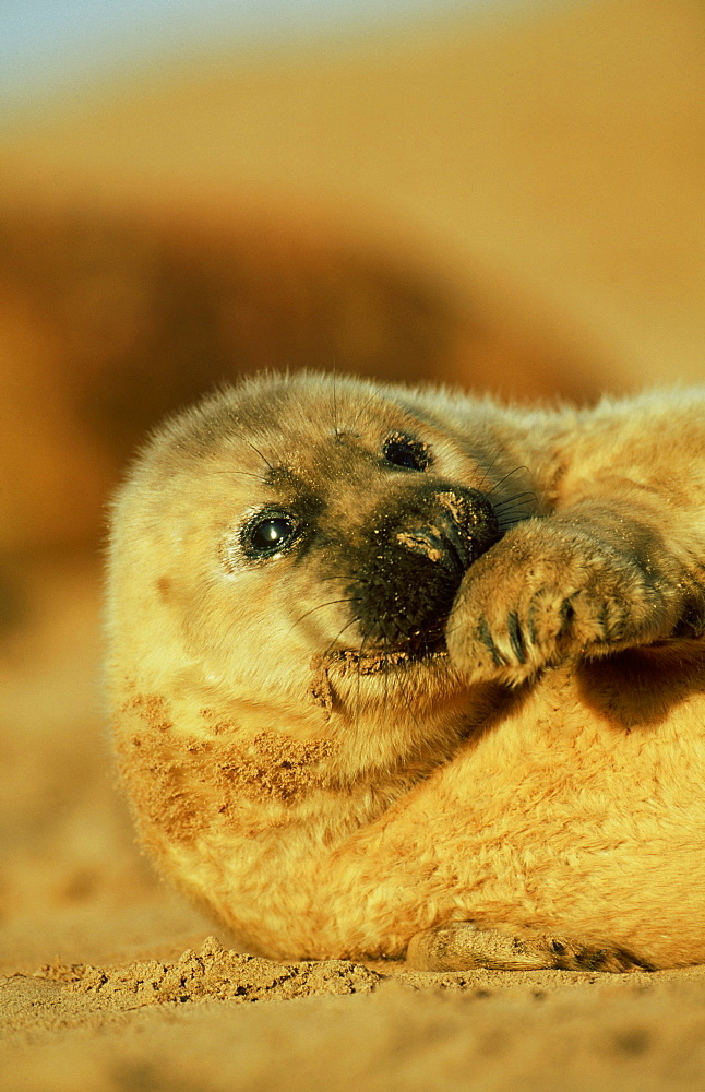 grey seal: halichoerus grypus pup on sandy beach eastern e ngland, uk - 987-97