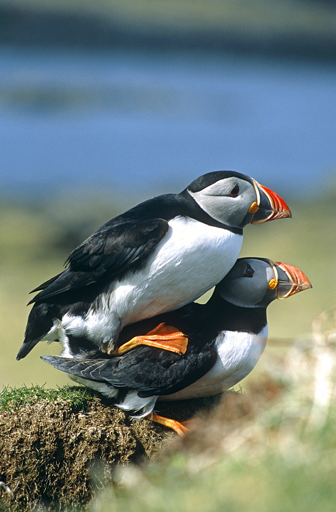 Horned puffin (Fratercula arctica).  Mating behaviour by nesting burrow.  Hebrides, Scotland   (RR)