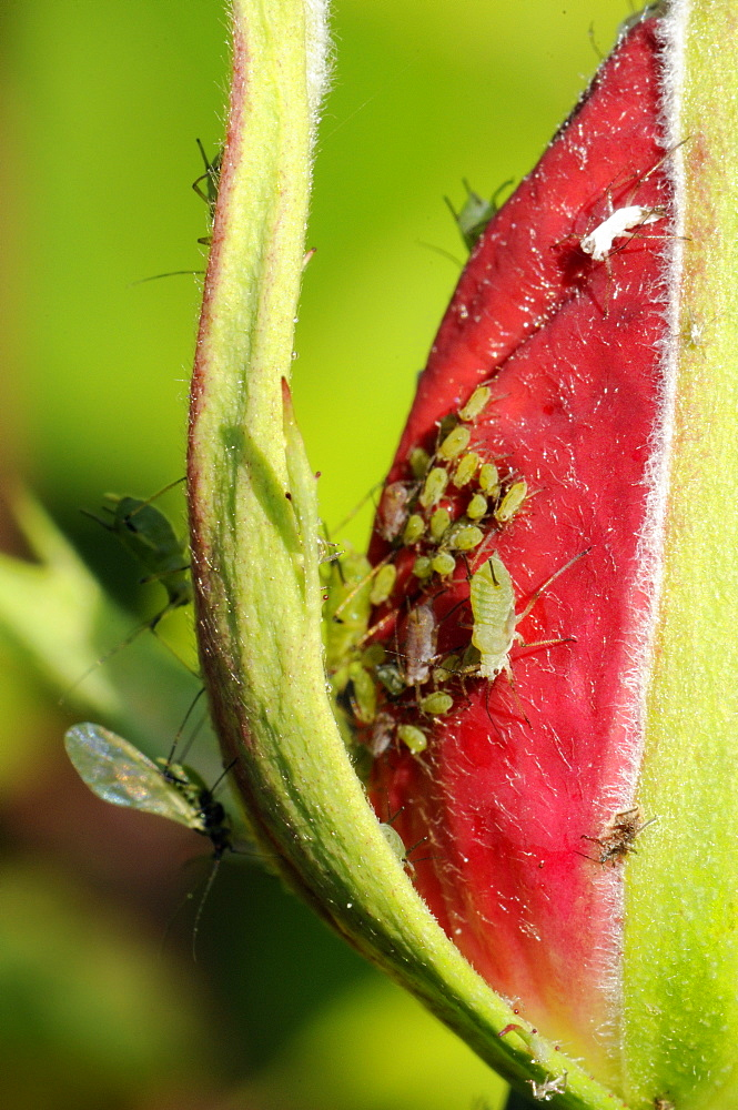 Rose aphids (Macrosiphum rosae) feeding on rose bud in a Wiltshire garden, England, United Kingdom, Europe