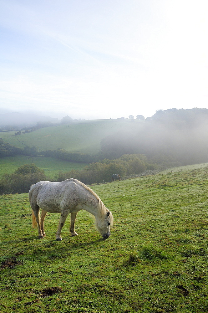 Welsh mountain pony (Equus caballus) grazing a hillside meadow on a foggy autumn morning, Box, Wiltshire, England, United Kingdom, Europe