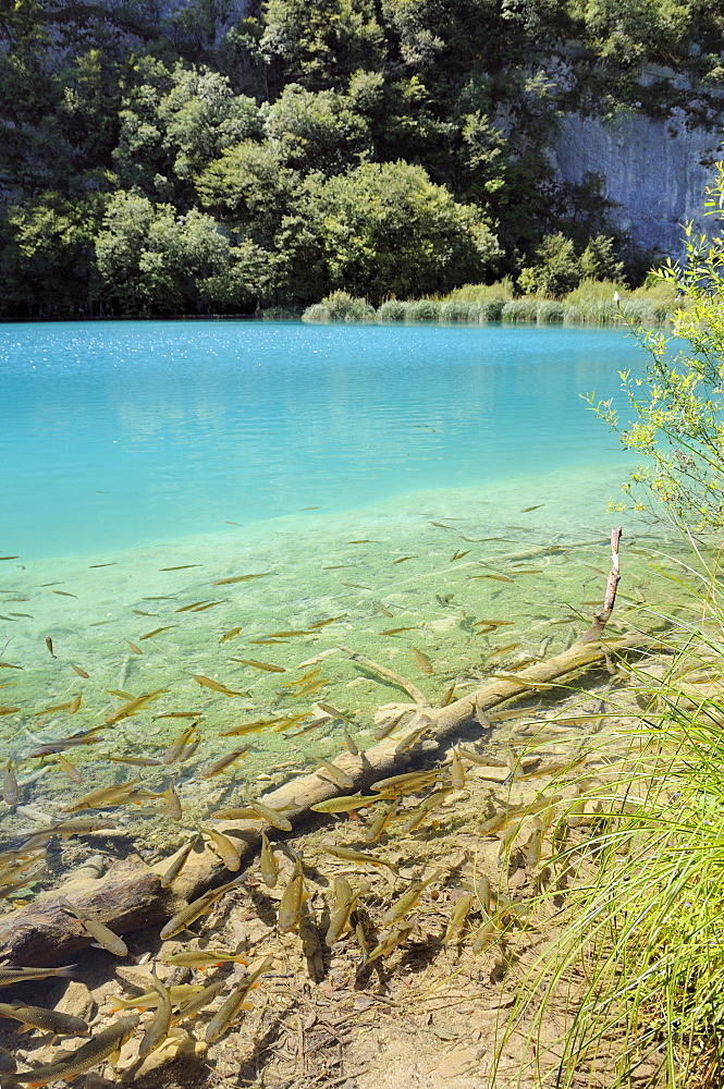 European Chub (Squalius or Leuciscus cephalus) shoal in the clear water of Plitvice Lakes National Park, Croatia.  MORE INFO: Chub  traditionally inhabit more lowland waters in Croatia, but they have proliferated since being introduced to Plitvice Lakes, which are warmer than in the past due to  climate change, and they have reduced native trout populations considerably by predating their eggs.