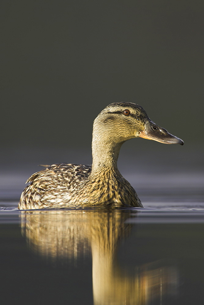 Mallard female (Anas paltyrhynchos) portrait with reflection in early morning light on Loch Etive.  Scotland - 995-114