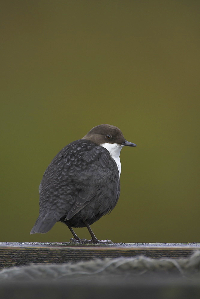 Dipper (Cinclus cinclus) perching on pier. Dippers often perch on rocks, fence posts and piers surveying the water, calling or just having a good preen. .  Argyll, Scotland - 995-178