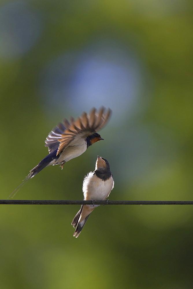 Swallow (Hirundo rustica) feeding young. Loch Awe, Argyll, Scotland, UK