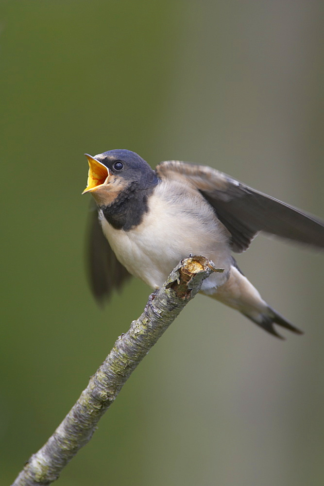 Swallow (Hirundo rustica) juvenile begging for food. Loch Awe, Argyll, Scotland, UK