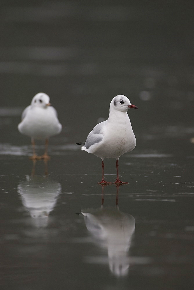 Black-Headed Gull (larus ridibundus) pair standing on ice on a frozen pond in Glasgow city centre front on view. Glasgow, Hyndland Park, Argyll, Scotland, UK