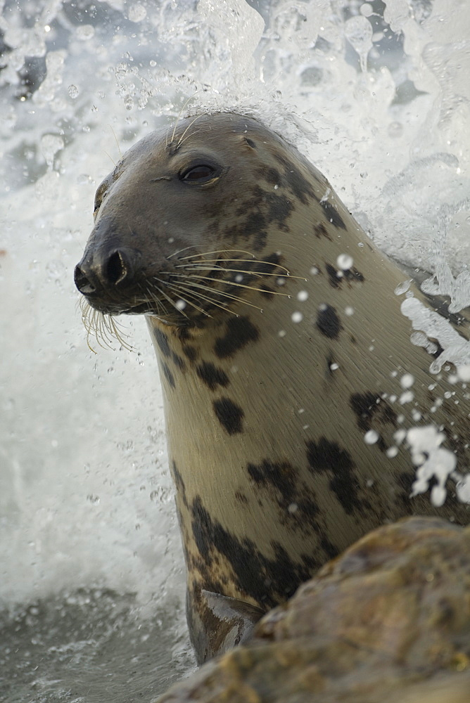 Grey Seal (Halichoerus grypus) female in surf waves crashing over head. . Mull of Kintyre near Campbeltown, Argyll, Scotland, UK