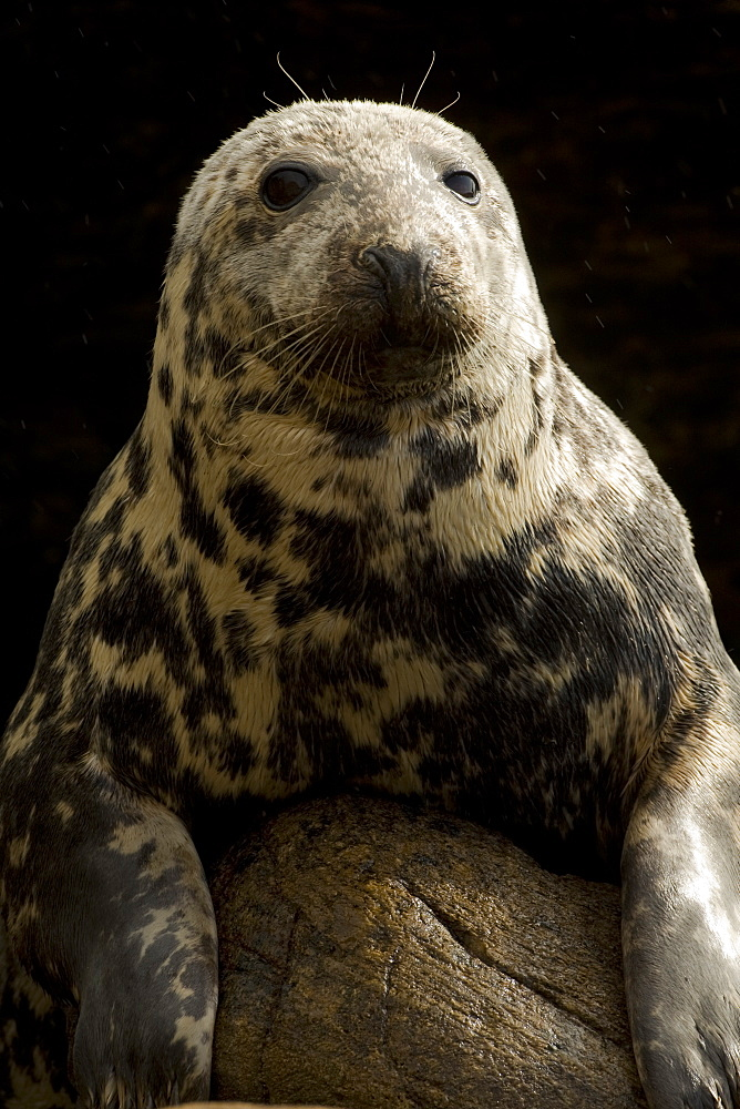 Grey Seal (Halichoerus grypus) head and body picture of female with dry fur.. Mull of Kintyre near Campbeltown, Argyll, Scotland, UK