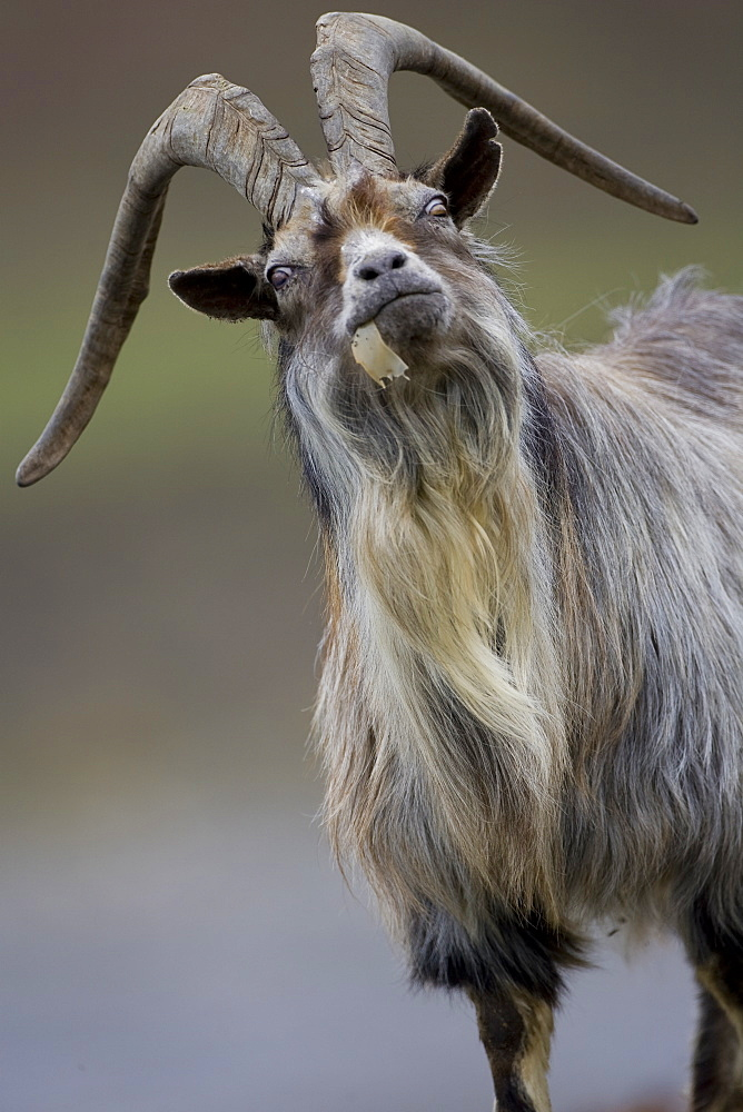Feral Goat (Capra hircus) eating seaweed on carsaig beach on Mull. Argyll and the Islands, Scotland, UK - 995-420
