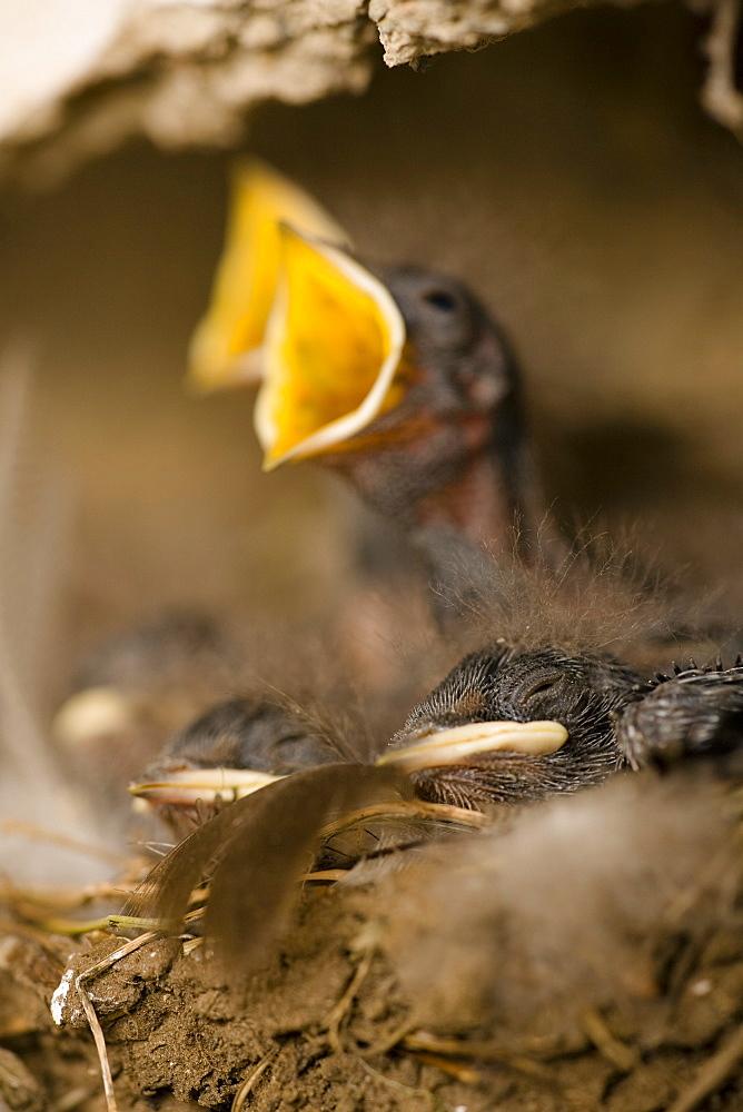 Swallow (Hirundo rustica) chicks in nest, begging for food. Loch Awe, nr Oban, Scotland, UK