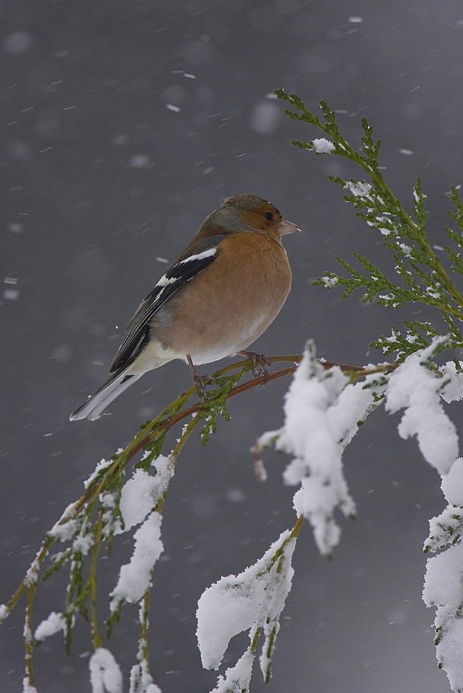 Chaffinch (Fringilla coelebs) male perched on snowy branch. highlands, Scotland, UK