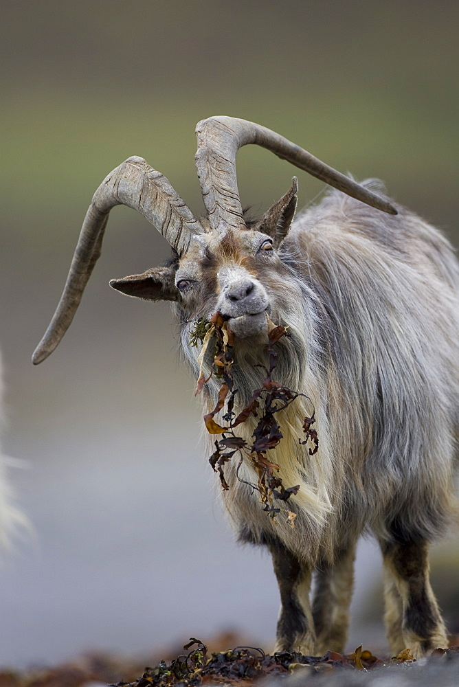 Feral Goat (Capra hircus) eating seaweed on carsaig beach on Mull. Argyll and the Islands, Scotland, UK - 995-518