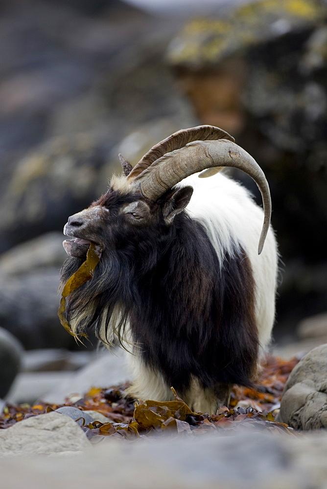 Feral Goat (Capra hircus) eating seaweed on carsaig beach on Mull. Argyll and the Islands, Scotland, UK