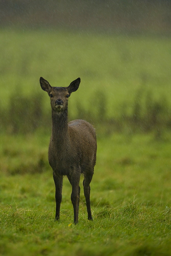 Red Deer (Cervus elaphus) portrait of young hind facing camera in heavy rain. Isle of Mull, Argyll, Scotland, UK - 995-574