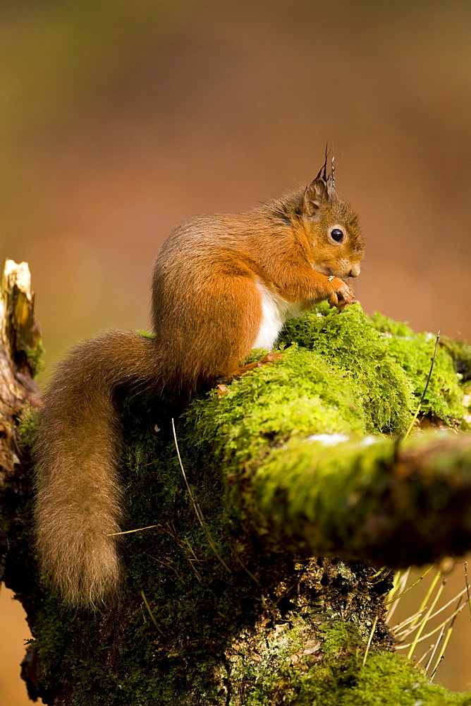 Red Squirrel (Sciurus vulgaris) sitting on mossy branch eating nut. Loch Awe, nr Oban, Scotland, UK
