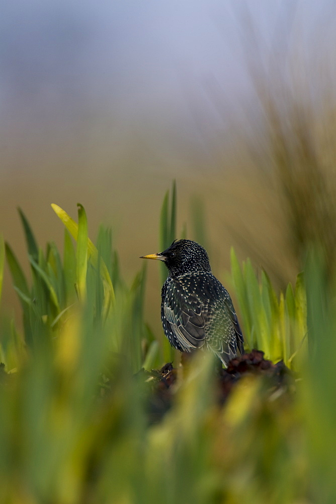 Starling (Sturnus vulgaris) standing on coastal grass in amongst new grown iris. Argyll and the Islands, Scotland, UK - 995-618