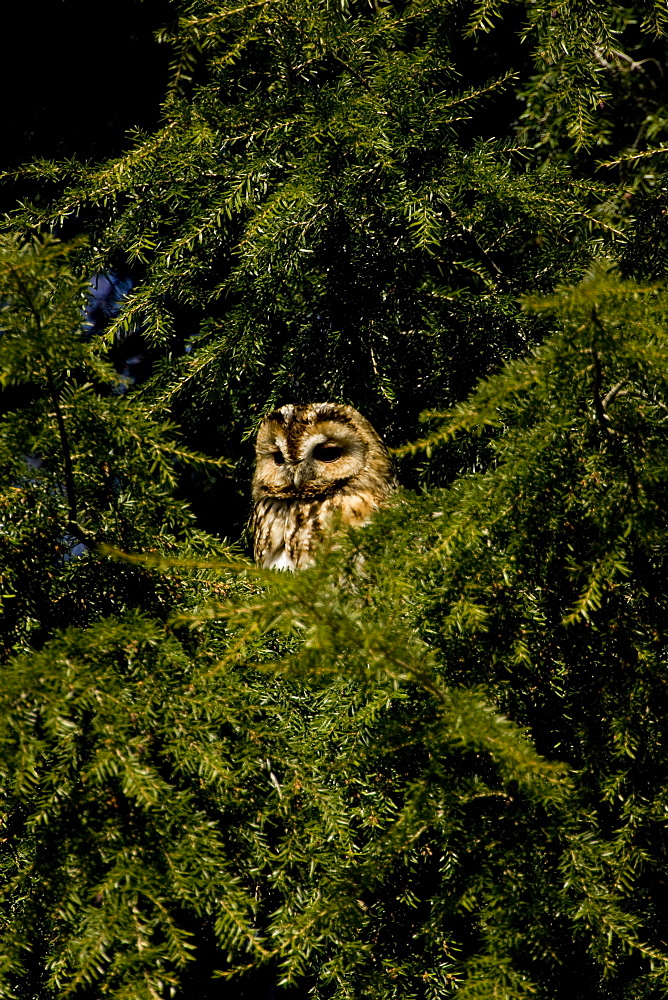 Tawny Owl (Strix aluco) perched in a pine tree. Loch Awe, nr Oban, Scotland, UK - 995-630