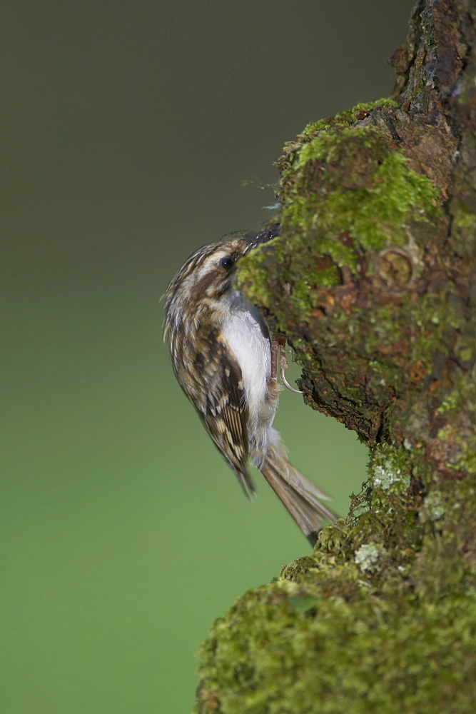 Treecreeper (Certhia familiaris) with insects in mouth about to feed  young. Nest located in a hole in the bark.. Argyll, Scotland, UK - 995-631