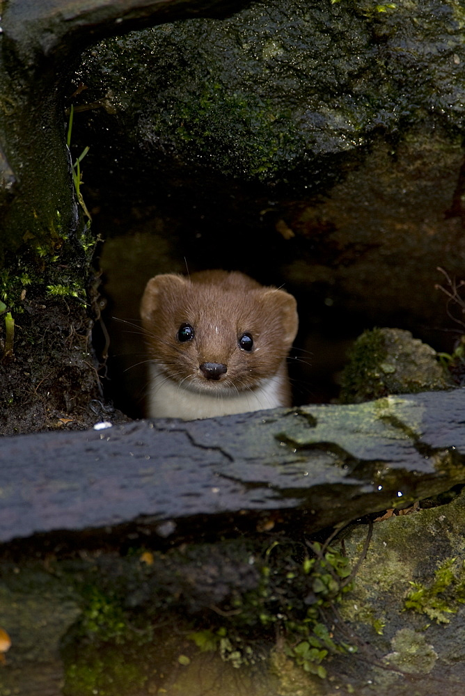 Weasel (Mustela nivalis) looking out a hole in an old wall. Loch Awe, nr Oban, Scotland, UK - 995-637