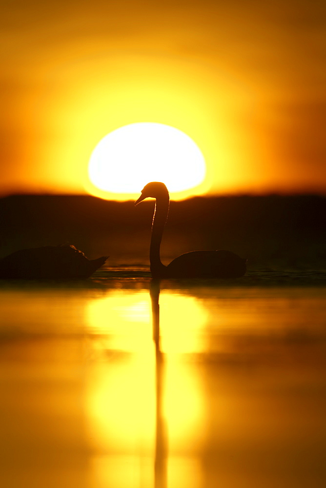 Mute Swan (Cygnus olor) silhouetted against rising sun Angus Scotland, UK - 995-71
