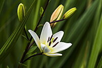 White Asiatic Lily (lilium) blooms in a flower garden, Oregon, United States of America