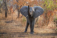 African Elephant (Loxodonta africana) with raised trunk and ears spread wide in Ruaha National Park, Tanzania