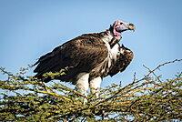 Lappet-faced vulture (Torgos tracheliotos) on thornbush under blue sky, Serengeti, Tanzania