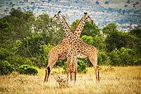 Two Masai giraffe (Giraffa camelopardalis tippelskirchii) crossing necks by trees, Serengeti, Tanzania